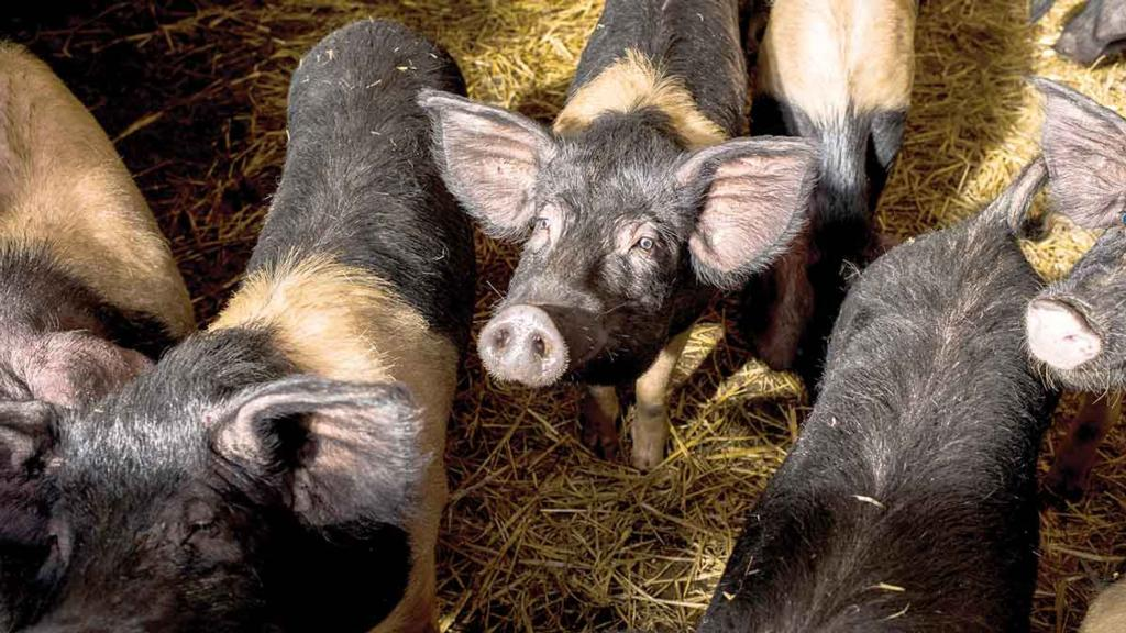 Pig industry welcomes new plan designed to tackle antimicrobial resistance