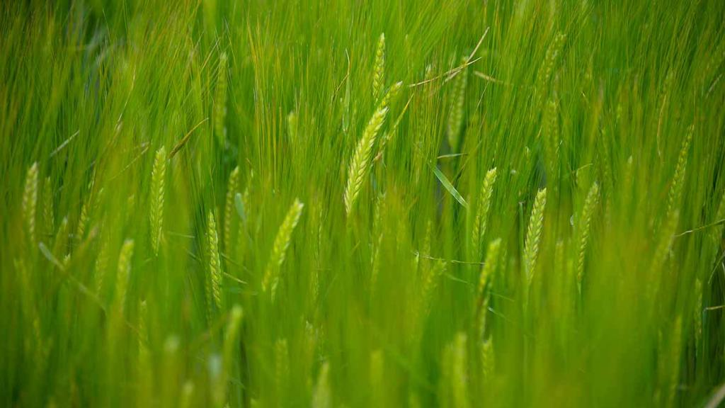 Barley topics to fore as virtual Arable Scotland gets underway