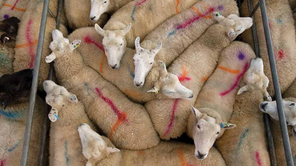 'If they were not taking them in numbers, there would be problems' - Eid trade drives market for cull ewes