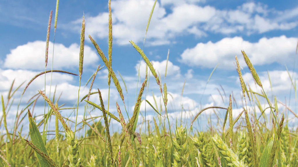 Outbreaks of black-grass in 'new' areas will be resistant