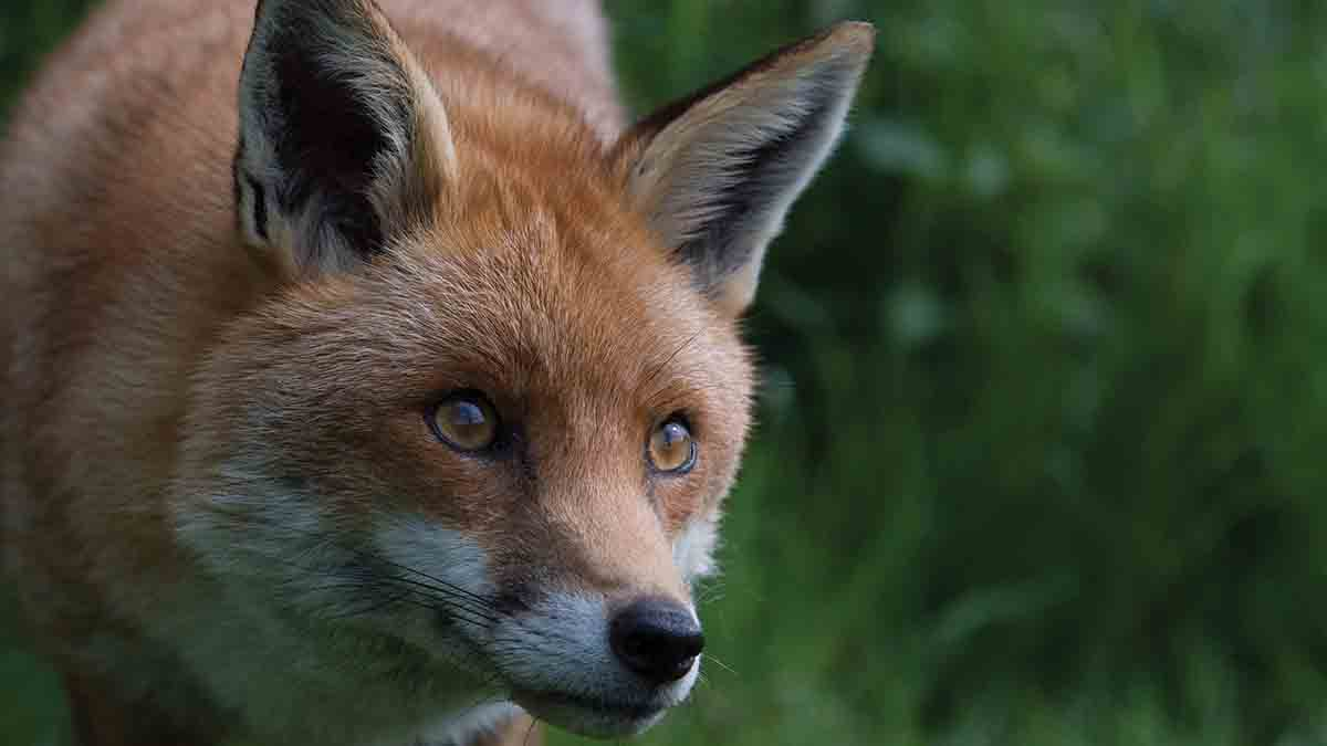 Robust evidence needed for snare use in fox control