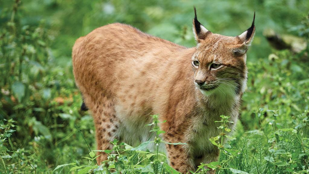 National Sheep Association: Current legislation will not allow lynx release