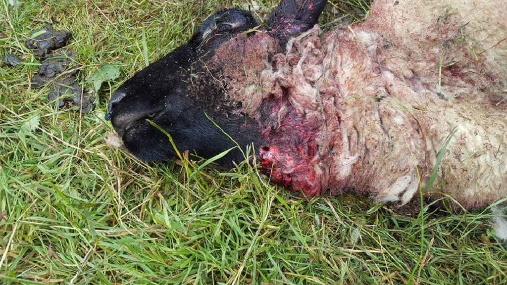 Six sheep stabbed to death in 'brutal and cruel attack' on farm