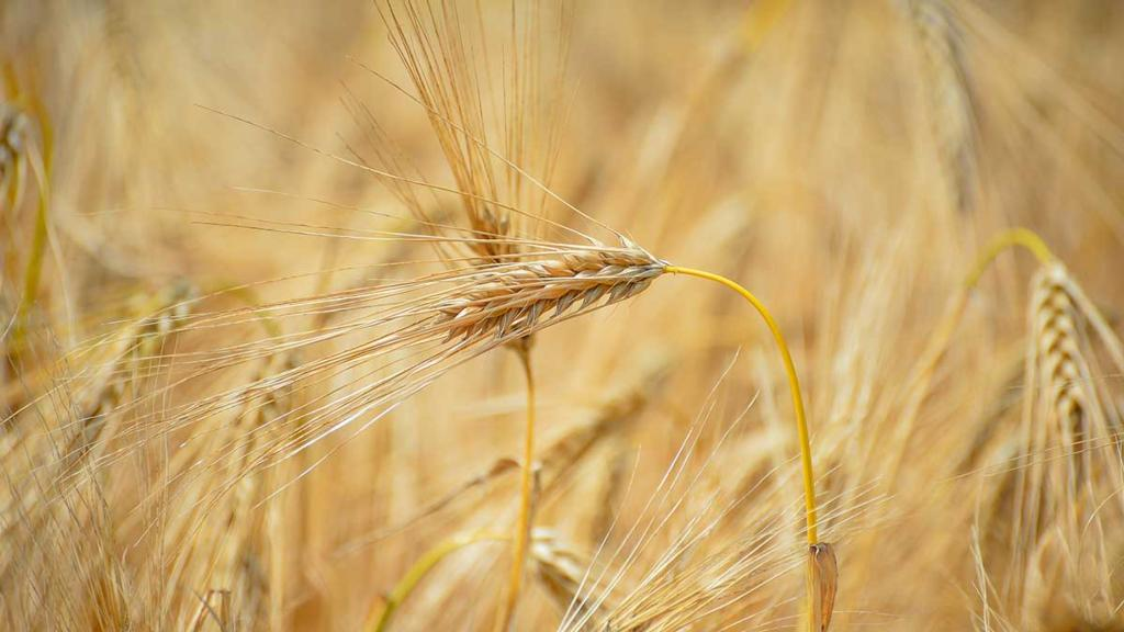 Opportunity for UK wheat in world's largest market