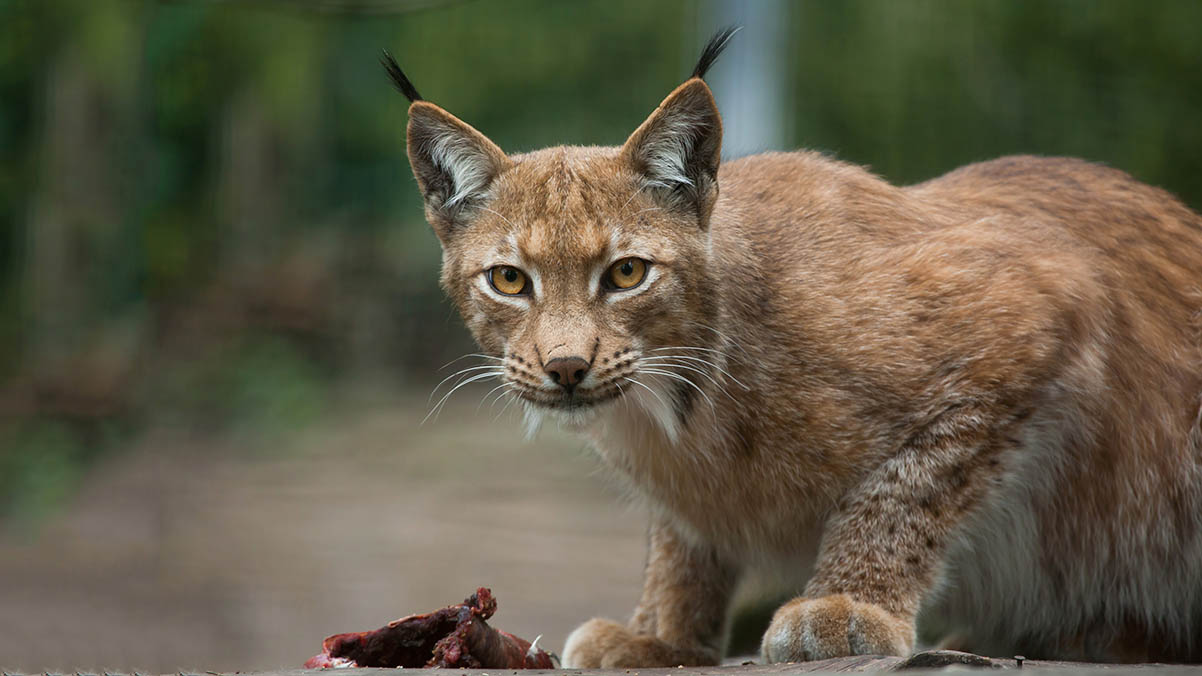 Lynx UK Trust under fire from sheep industry as release draws closer