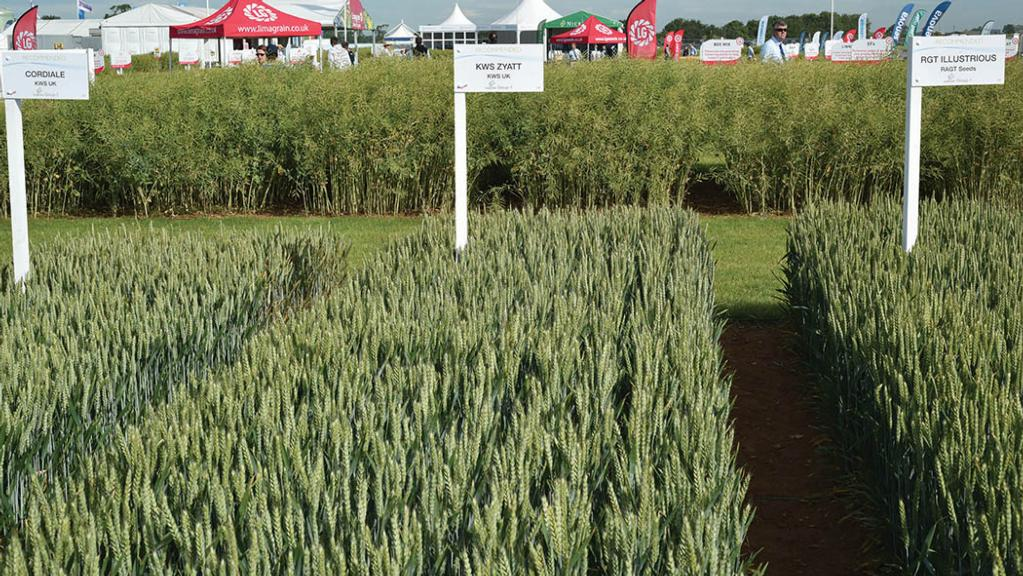 AHDB publishes first yield data for winter wheat for RL trials