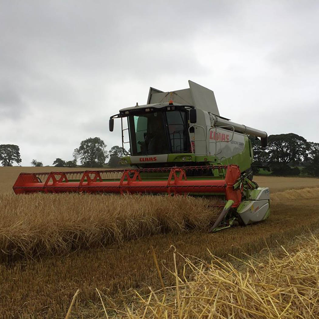 Crop of Cassia being harvested at Beaumont House, Northumberland