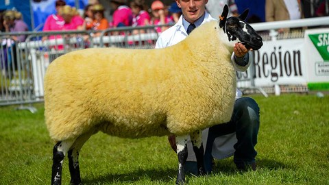 Beulah elevated to Royal Welsh supreme sheep champion