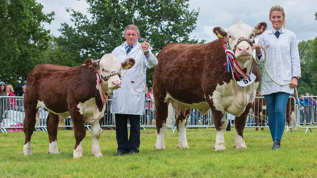 Hereford cow stands champion at Burwarton