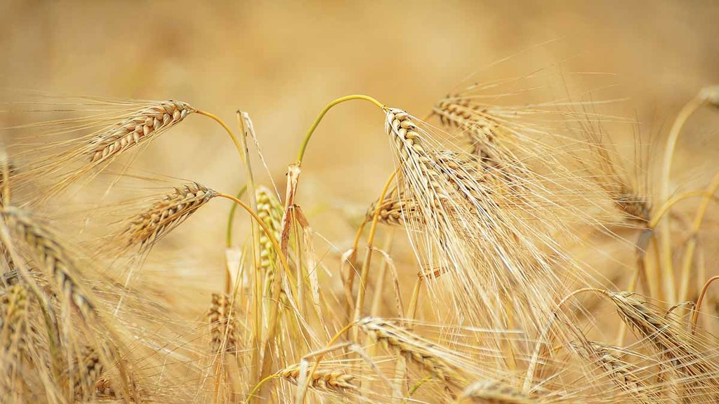 Opportunities for UK barley exports open up in Spain