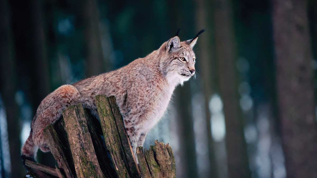 Lynx debate 'too focused on the positives', says NSA