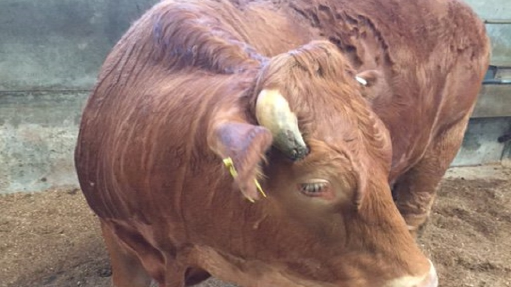 Farmer sentenced after cow found with severe in-growing horn into its head