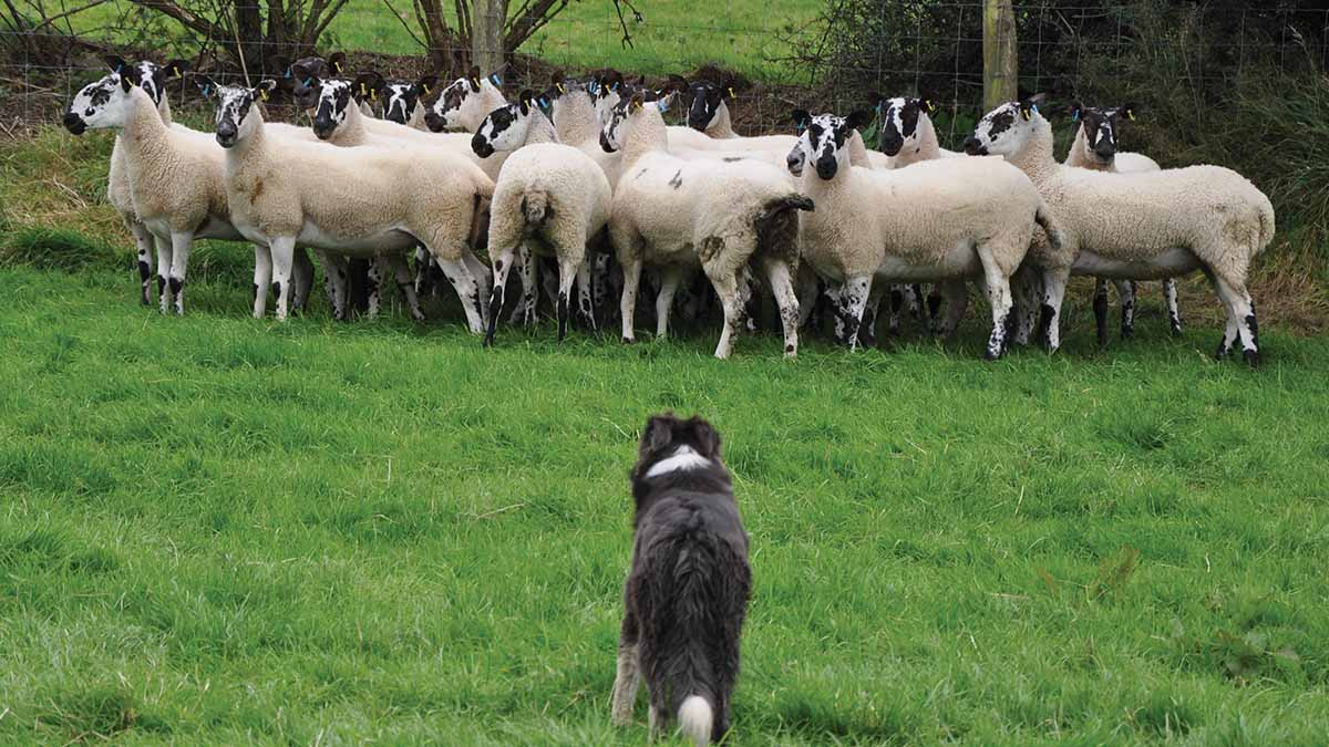 Protect ewes at pre-tupping against toxoplasmosis risk