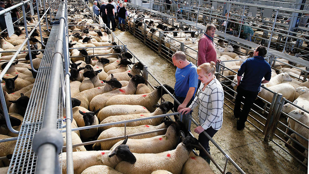 Strong entry of breeding sheep at Monmouthshire