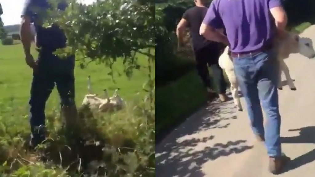 RSPCA appeal for info as video shows sheep being injured after it was thrown into a field
