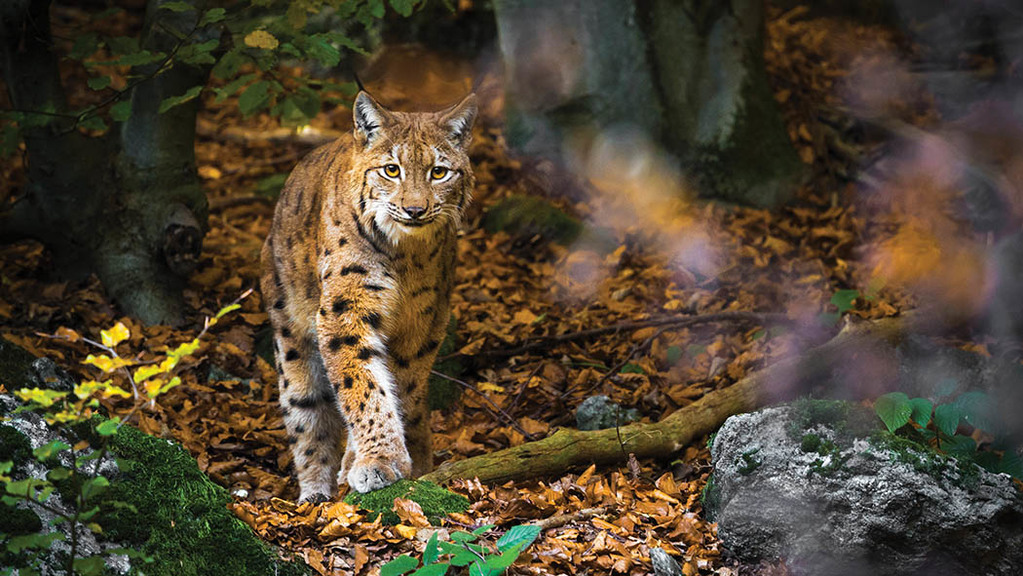 From the editor: Lynx debate should never have progressed so far