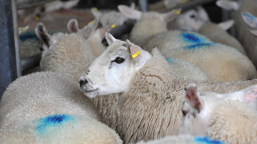 Lamb prices plummet at UK auction marts but prime cattle stable