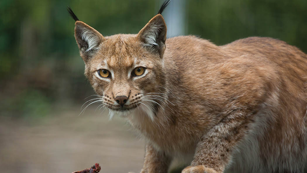 Community interest group 'has gone a step too far' with lynx release claims