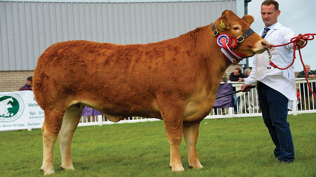 Anglesey_Limousin