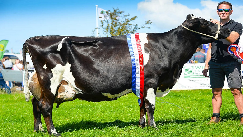 Cross-bred eighth calver claims Denbigh and Flint dairy victory