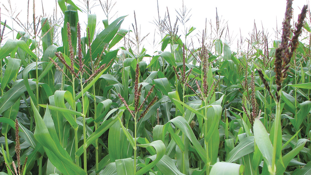 Maize Matters 2017: Looking forward to maize harvest