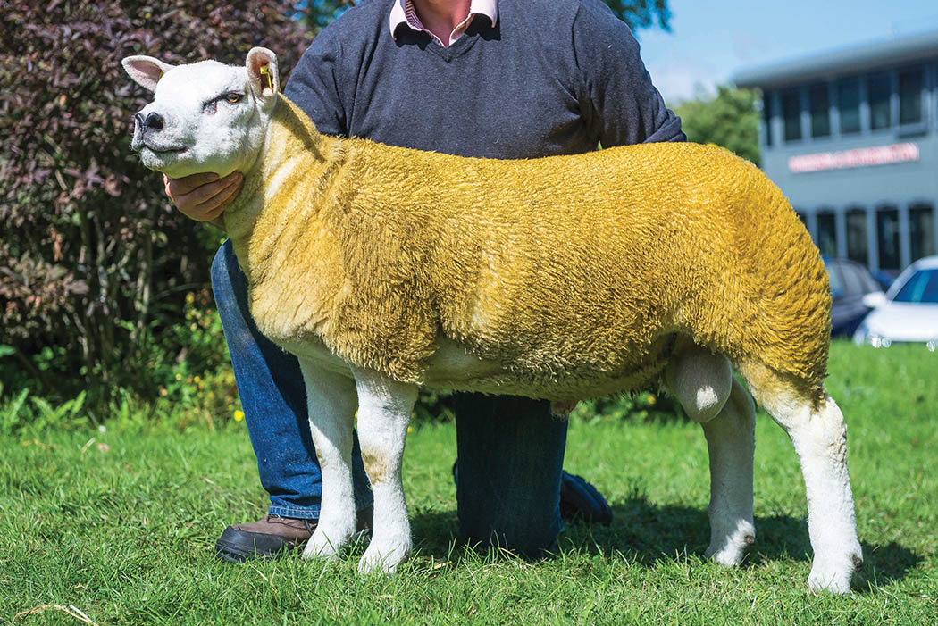Garngour flock reign at Solway and Tyne Texel fixture - NEWS