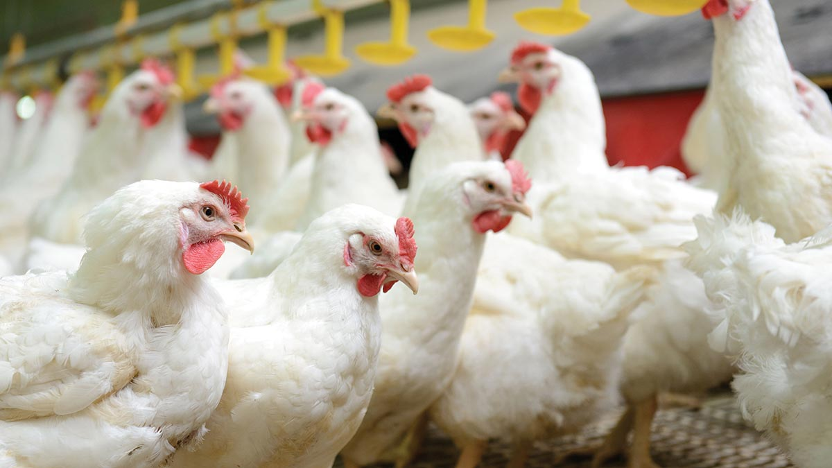 Poultry keepers urged to ramp up biosecurity as winter bird flu threat looms