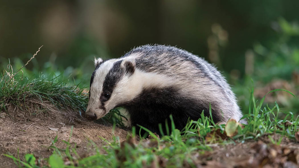 """I have not had TB so my badgers are clean and I do not want to get rid of them"""