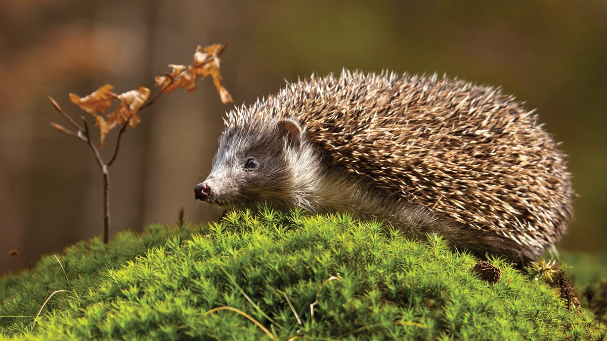Badgers do have negative effect on hedgehog populations, new survey finds