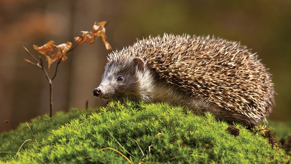 'Badgers to blame' for hedgehog decline - not farmers