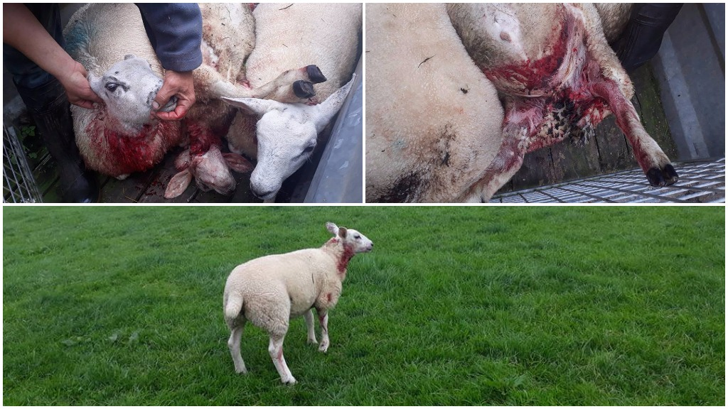 Furious farmer takes to social media after savage dog attack on sheep