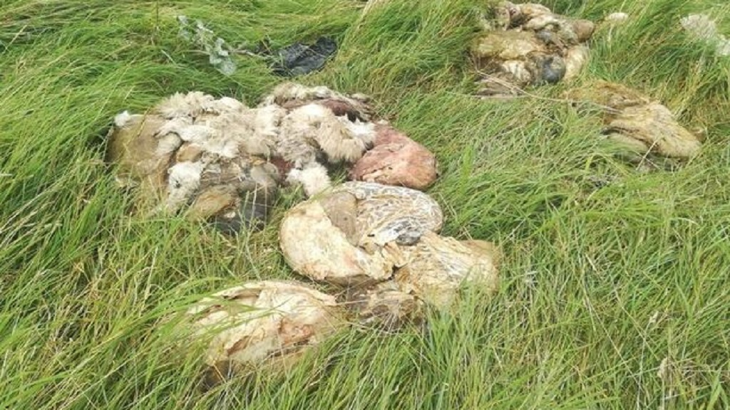 VIDEO: Mystery as butchered and dismembered sheep found by dog walker