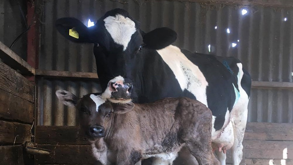 Young farmer stunned by bumper 80kg birth weight of Limousin calf named 'Jumbo'