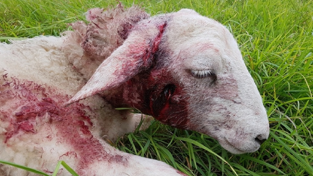 Sheep left with horrific injuries after being mauled by Alsatian dog