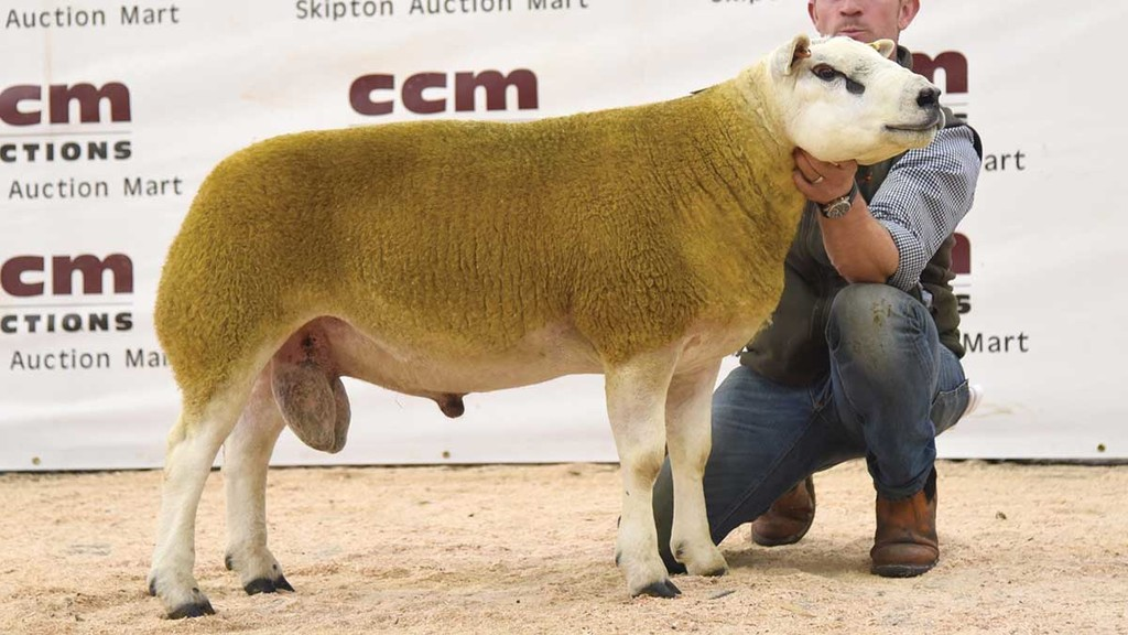 Crimple Head shearling tops Skipton Texel trade