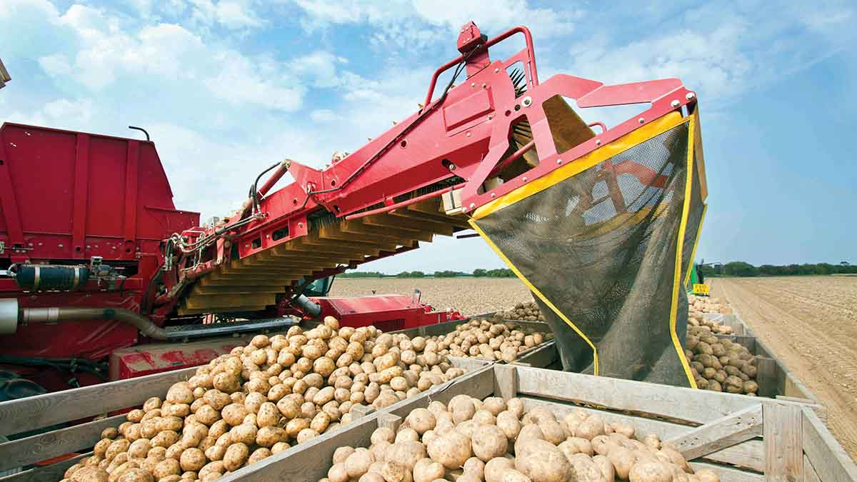 GB potato production up 15 per cent