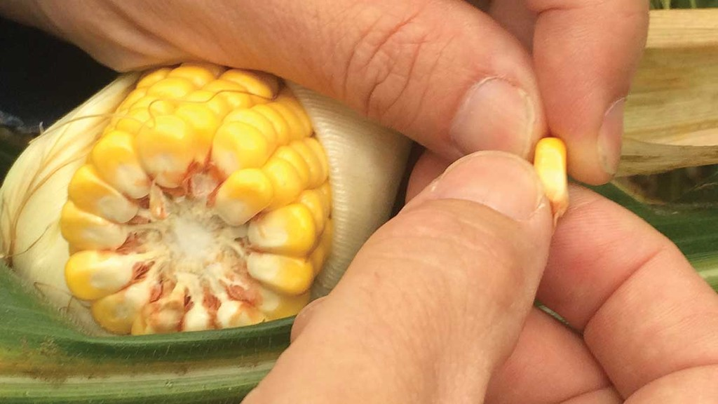HANDY HINTS: Five ways to increase gas yield in maize