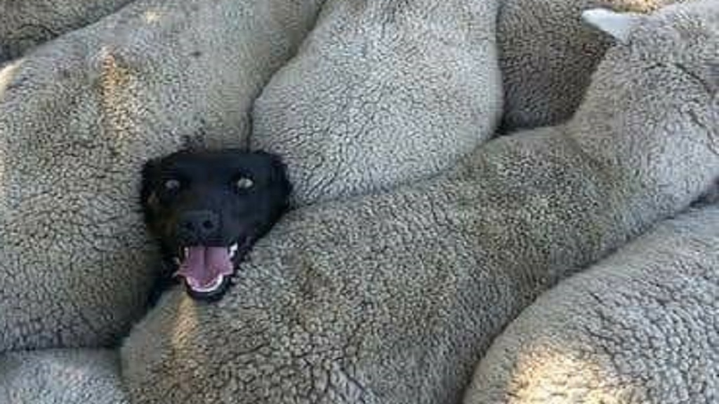 The story behind the viral picture of Izzy the sheepdog