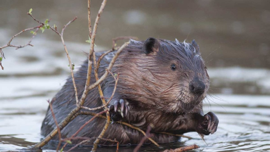 The problem with beavers - farmers vent frustration as populations strengthen