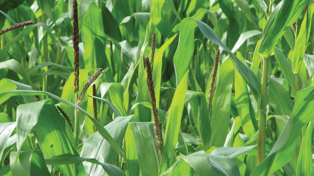 Selecting maize varieties on feeding quality and milk production potential