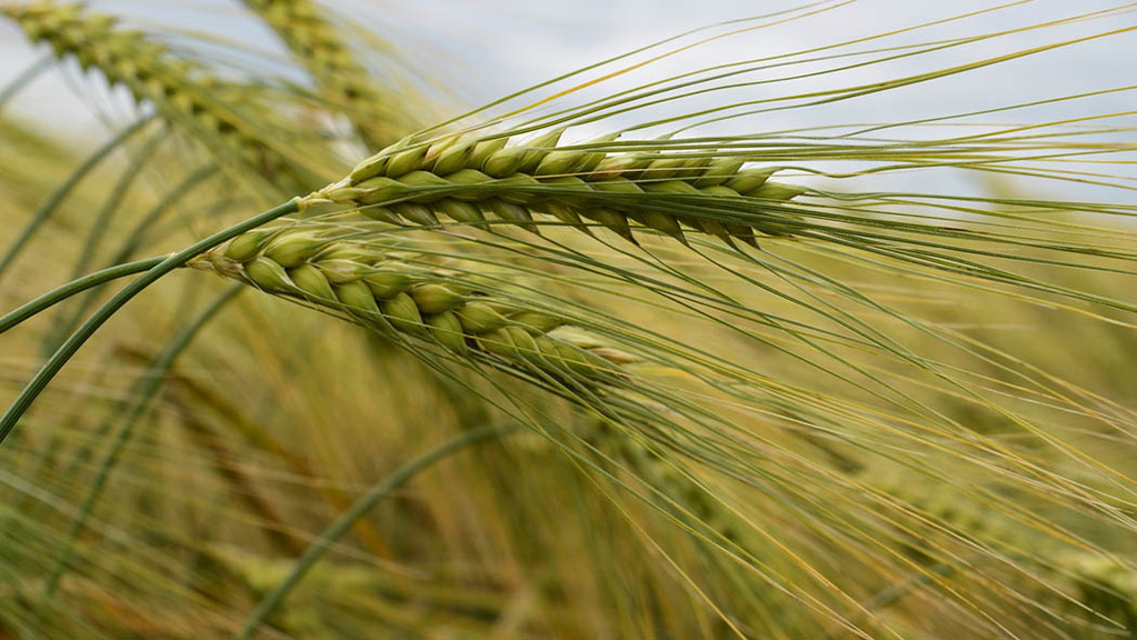 Scientists discover genetic pathway to improved barley quality