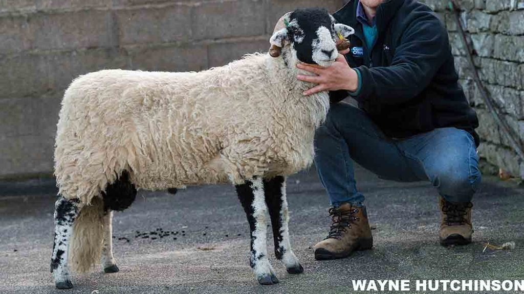 New Swaledale ram lamb record set at Kirkby Stephen