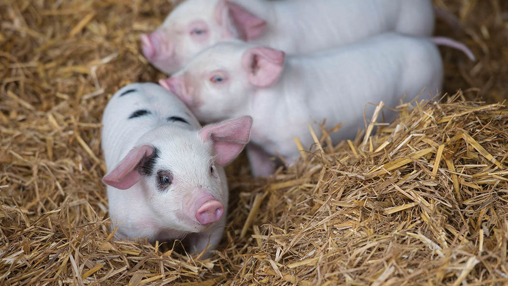 AHDB Pork's yearbook goes online