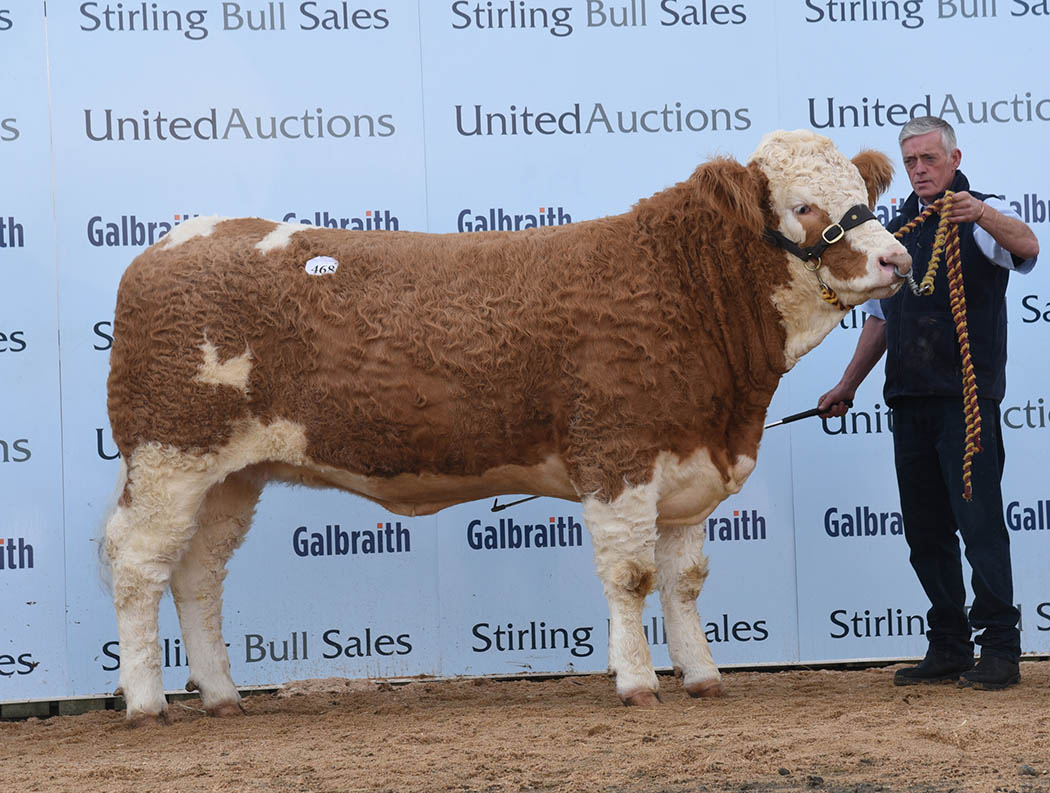 Simmental female soars to 28,000gns (Stirling, United Auctions)