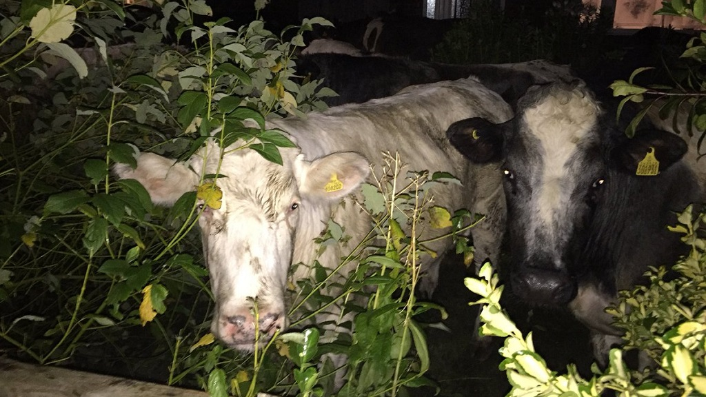 Fifty cows run riot in residential street after escaping from farm