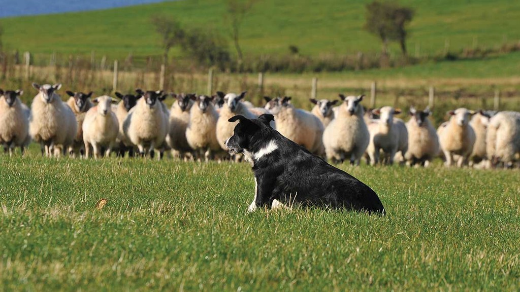 Covid-19 drives adoption of technology in sheepdog sales