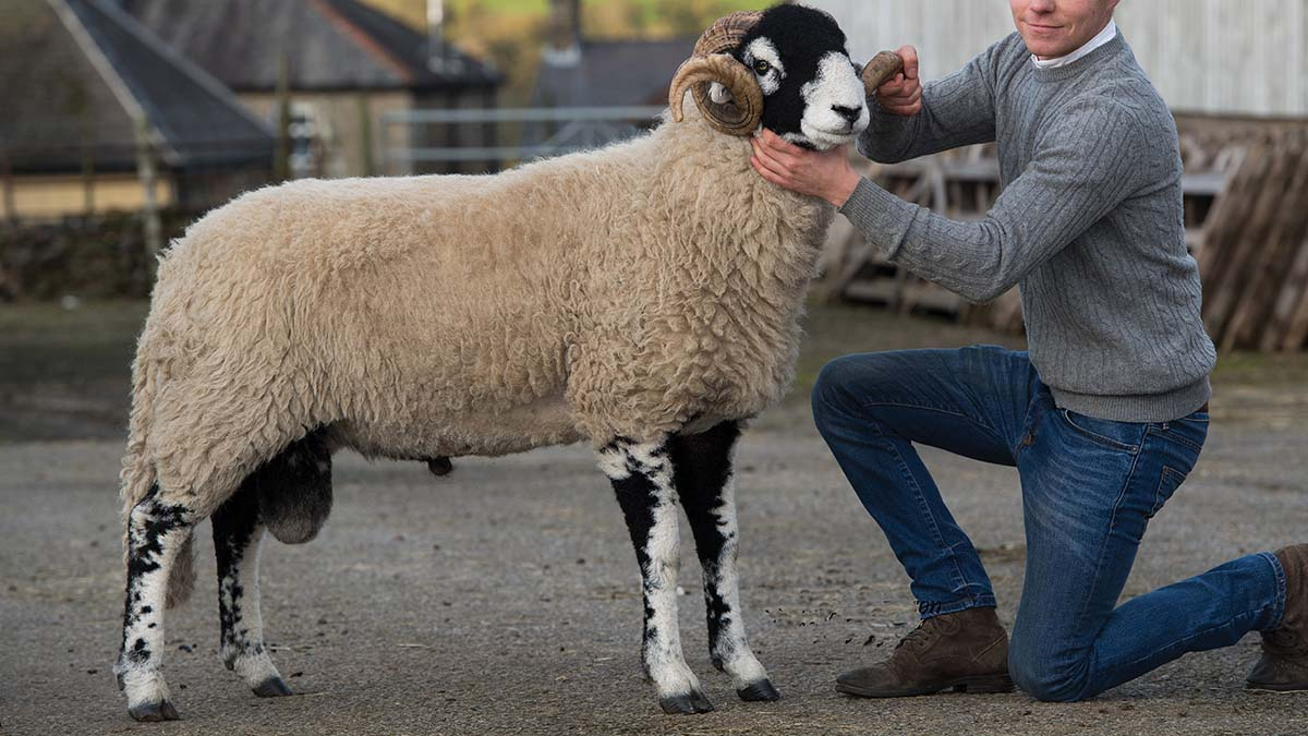 The Brogden's pre-sale champion, a lamb which sold for £60,000.