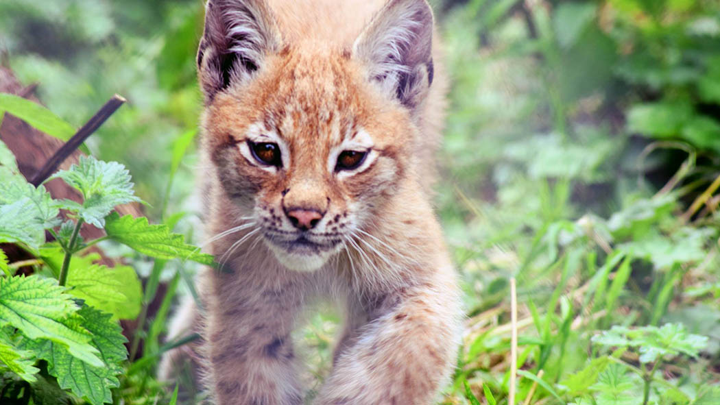 The young Eurasian lynx, Lilleth.