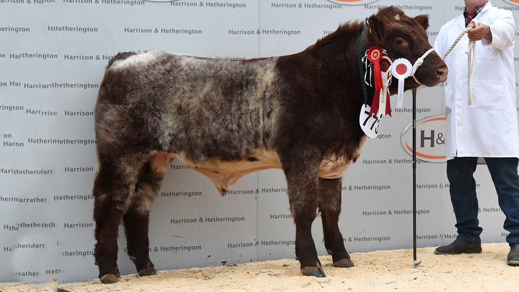 Beef Shorthorn Calf Show