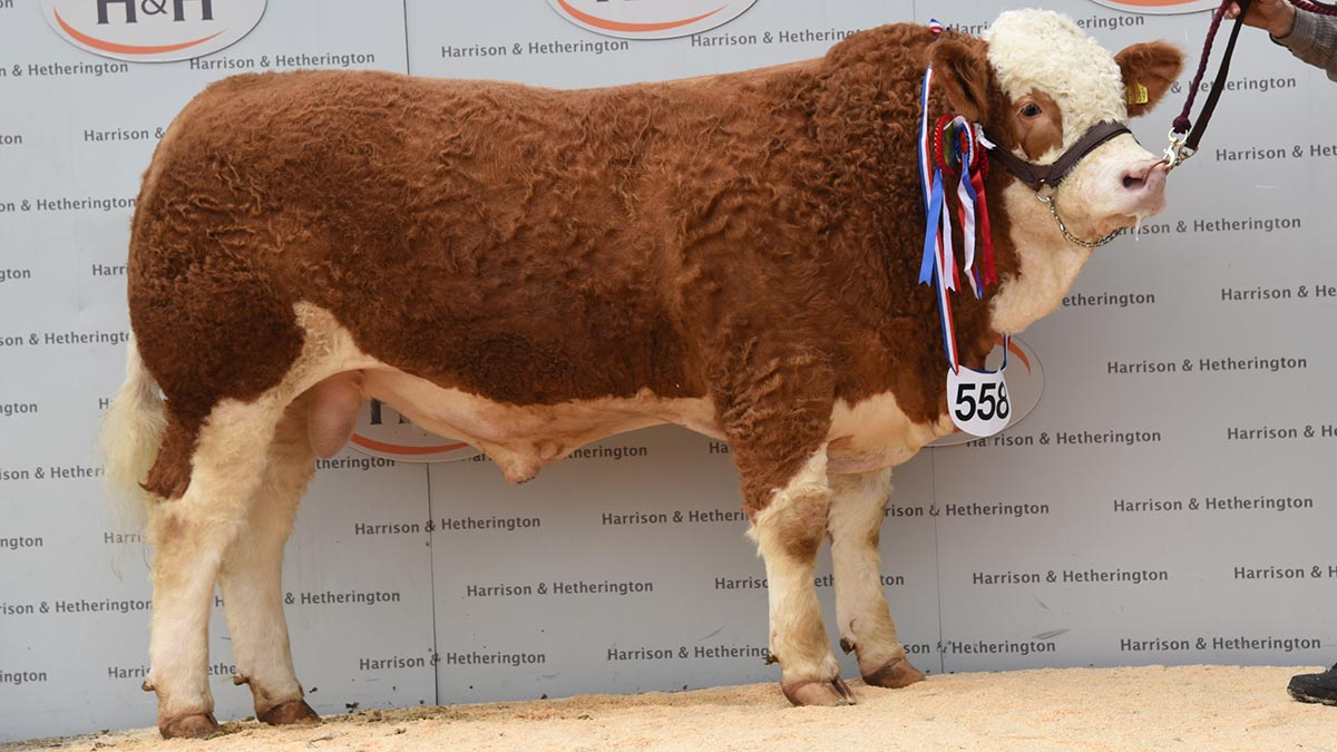 North West Simmental Club's calf show